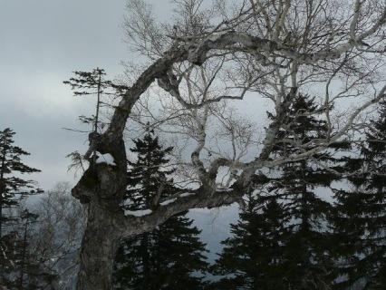 ダケカンバの上に松の木