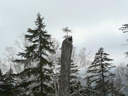 松の木古木から芽が出ました