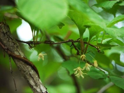 チョウセンゴミシ
