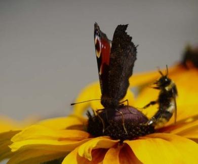 クジャクチョウと蜂