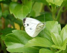 エゾスジグロチョウ