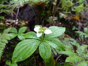ゴゼンタチバナ花