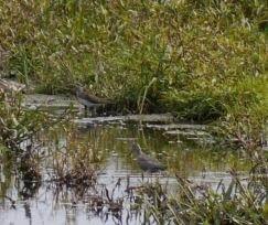 メダイチドリとオオソリハシシギ