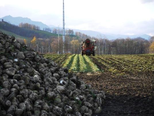 ビートの収穫