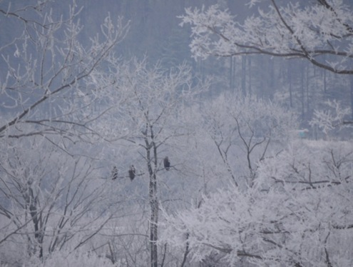 樹氷の中のオジロ