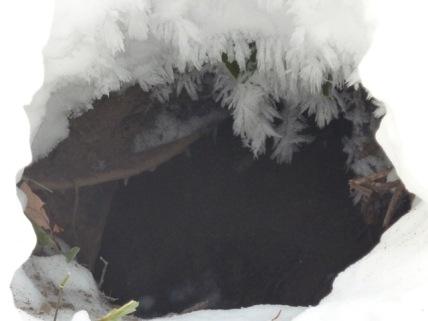 キタキツネの巣穴A