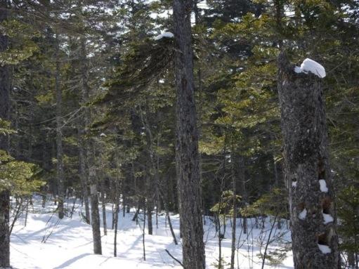 静かな針葉樹林帯