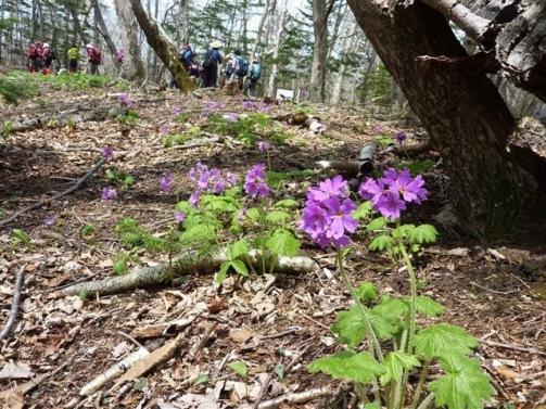 エゾオオサクラソウが咲いてる登山道