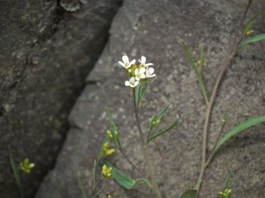 ミヤマハタザオB