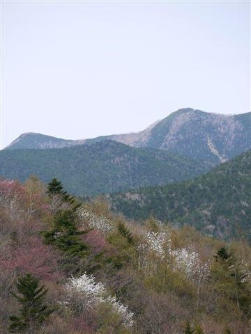 山すそのコブシと桜