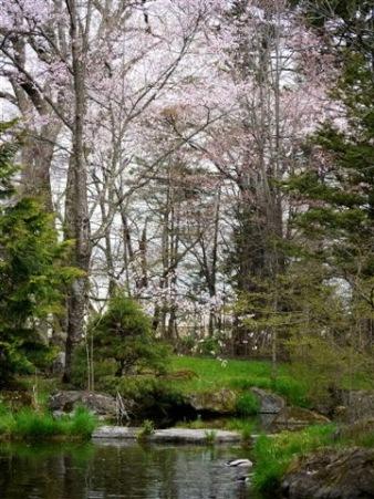 池のマガモ
