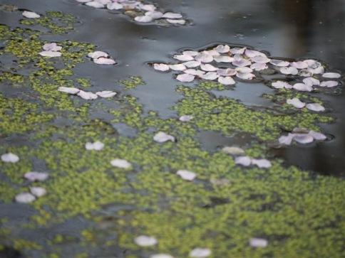 浮き草と花びら