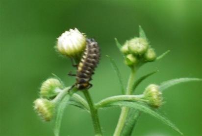 P1440515テントウムシの幼虫