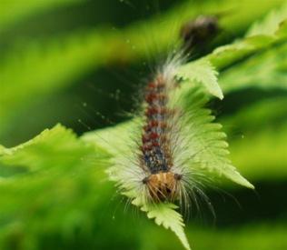 P1440521マイマイガの幼虫