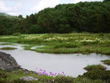 水辺のエゾコザクラ