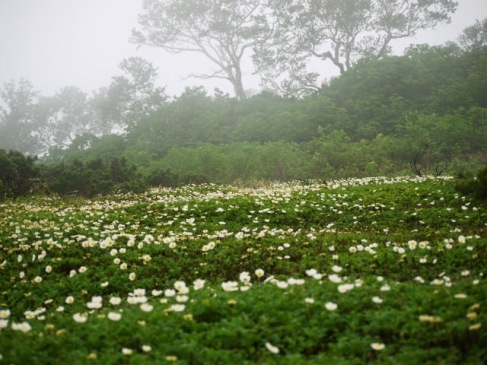 霧の中のチングルマ