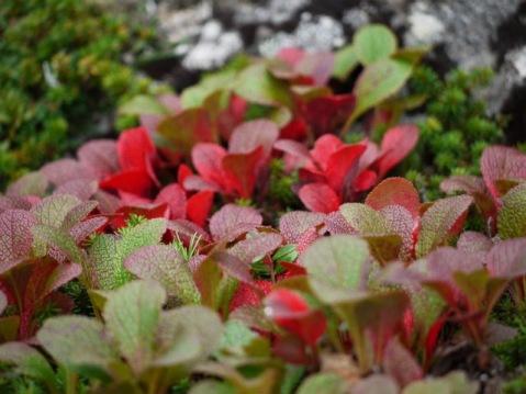 ウラシマツツジの紅葉