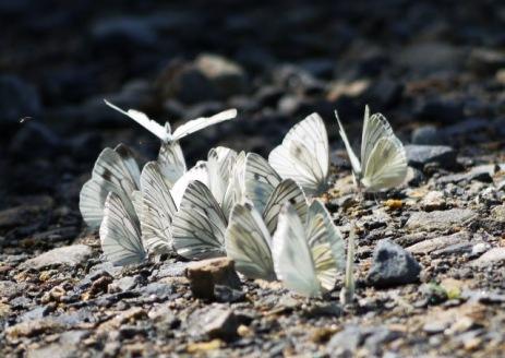 スジグロシロチョウの集団吸水