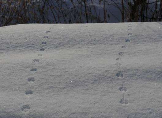 sP1810188ドブネズミの足跡