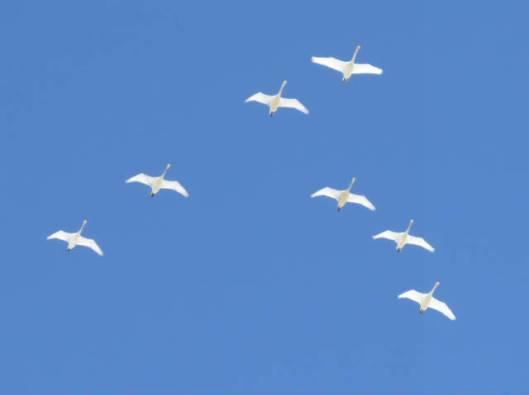 sIMG_5672オオハクチョウ飛翔