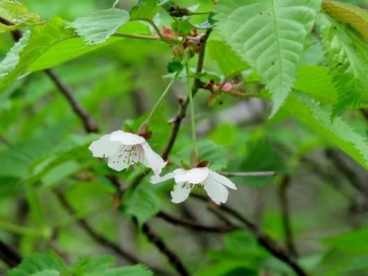 sIMG_3590桜の花