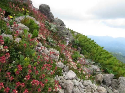 s2013-07-21 緑岳~白雲避難小屋 015チシマツガザクラ