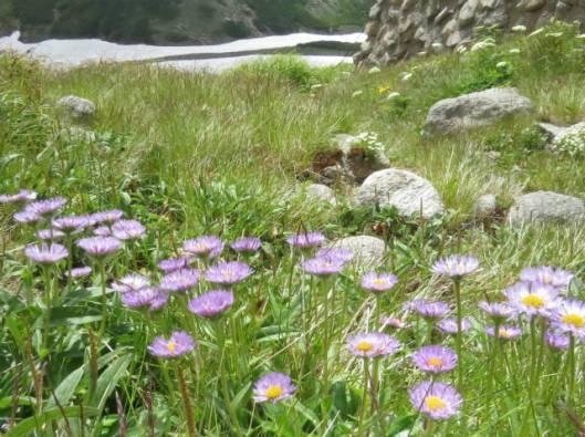 s2013-07-21 緑岳~白雲避難小屋 025ミヤマアズマギク