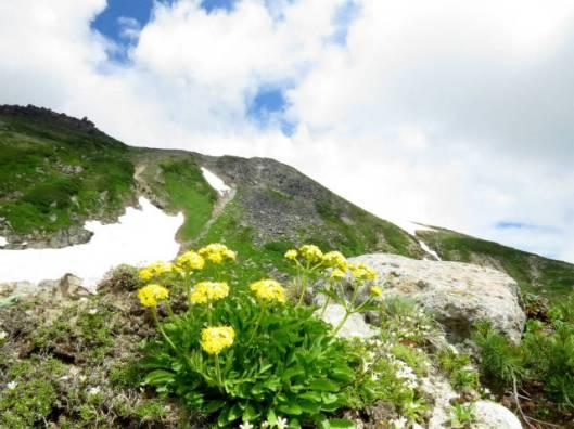 s2013-07-21 緑岳~白雲避難小屋 026チシマキンレイカ