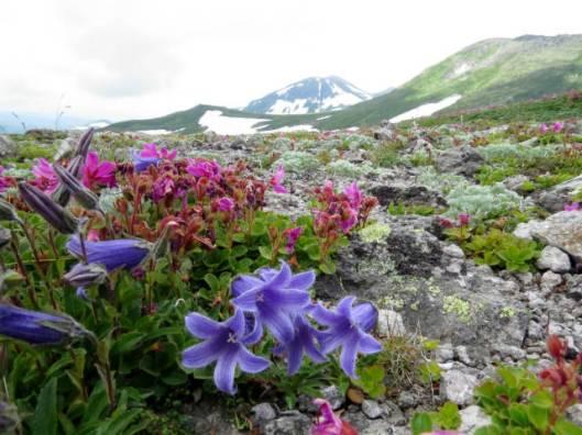 s2013-07-21 緑岳~白雲避難小屋 041チシマギキョウ