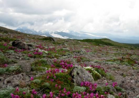 s2013-07-21 緑岳~白雲避難小屋 042エゾタカネツメクサ