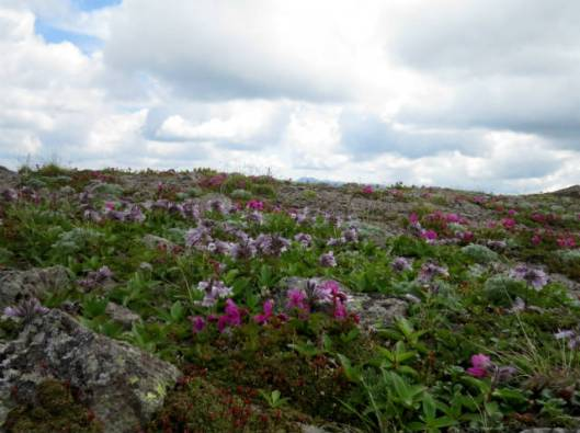 s2013-07-21 緑岳~白雲避難小屋 043イワブクロ