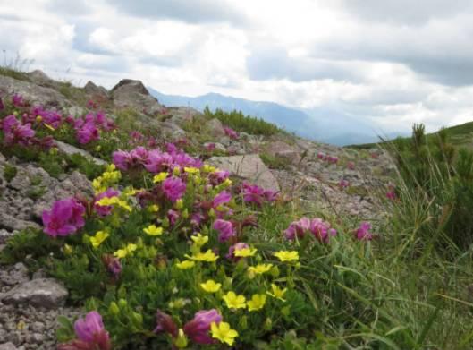 s2013-07-21 緑岳~白雲避難小屋 044メアカンキンバイ