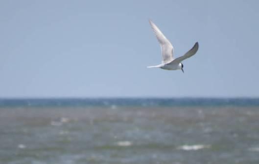 s15-2013-08-29 トイトッキ浜 134アジサシ