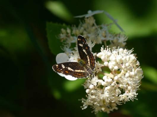 s2013-08-02 上札内蝶 017サカハチチョウ