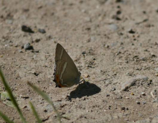 s2013-08-02 上札内蝶 064ミドリシジミ