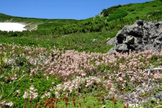s2013-08-03 赤岳~黒岳縦走 042チシマツガザクラ