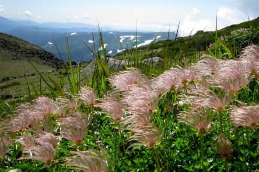s2013-08-03 赤岳~黒岳縦走 103チングルマの綿毛