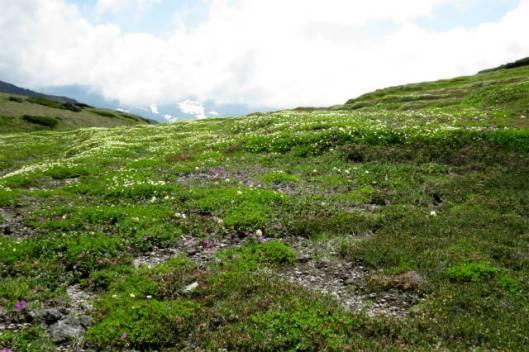 s2013-08-03 赤岳~黒岳縦走 146チングルマとエゾコザクラ