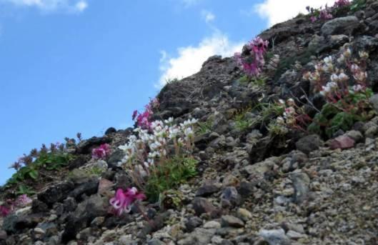 s2013-08-03 赤岳~黒岳縦走 161コマクサとチシマクモマグサ