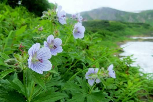 s2013-08-08 白雲避難小屋~高根が原~忠別岳 046トカチフウロ