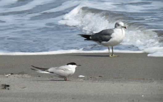 s5-2013-08-29 トイトッキ浜 128ウミネコとアジサシA