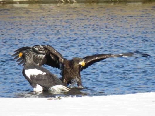 2013-12-15 鳥調査、新水路、帯広川 053