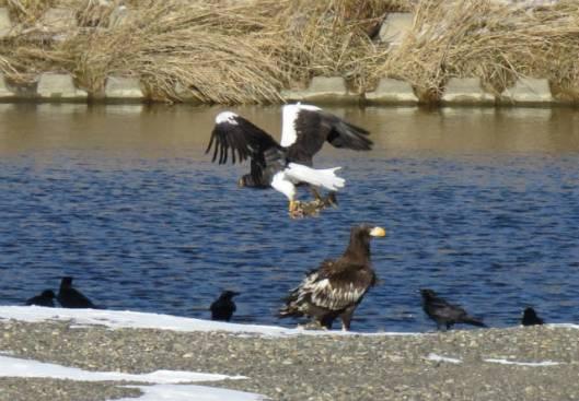 2013-12-15 鳥調査、新水路、帯広川 137