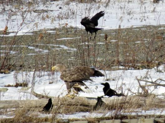 2013-12-15 鳥調査、新水路、帯広川 247