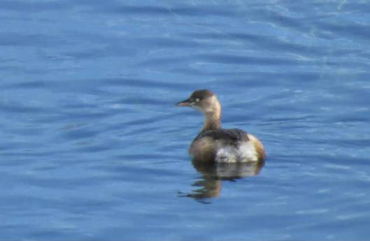2013-12-15 鳥調査、新水路、帯広川 330