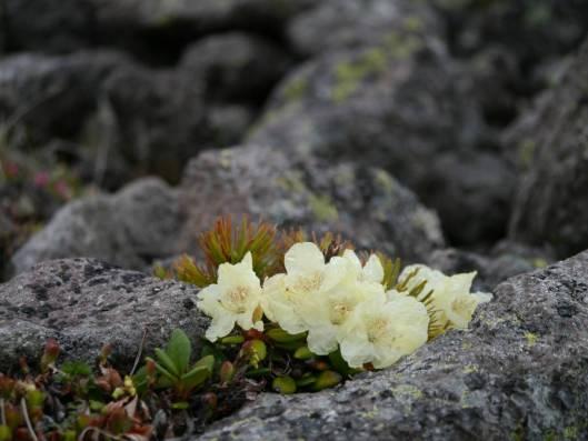緑岳 2015-06-16 036