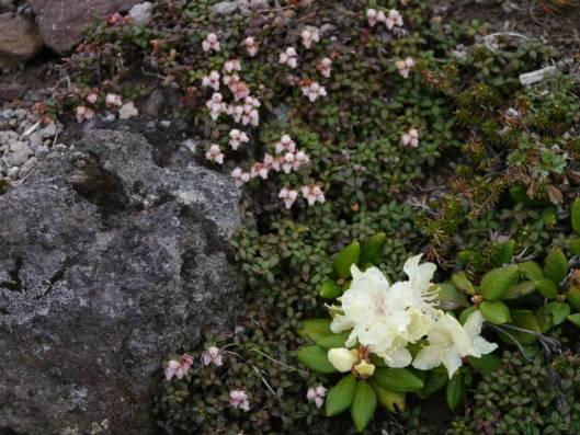 緑岳 2015-06-16 045