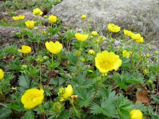 緑岳B 2015-06-19 025