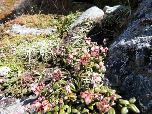 黒岳 2015-06-12 053